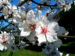fiori-di-mandorlo-eeacc851-7fd8-48d6-8f96-21c0a57e6e52